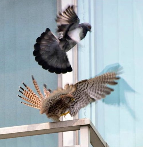 dove attacking kestrel